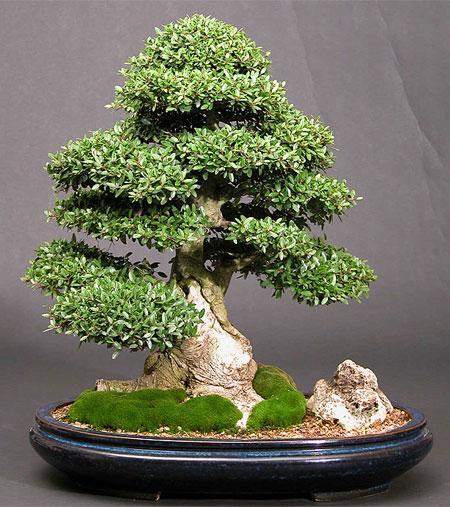 Ilex-crenata-bonsai