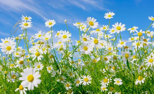 kwiaty-rumianku