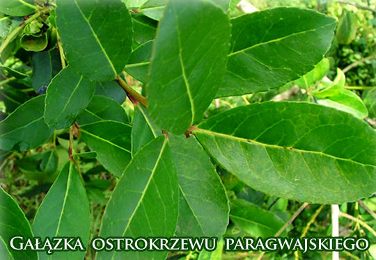 Galazka_ostrokrzewu_paragwajskiego